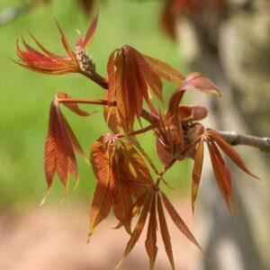Aesculus indica (Indian Horse Chestnut) - PB18 (180/200)
