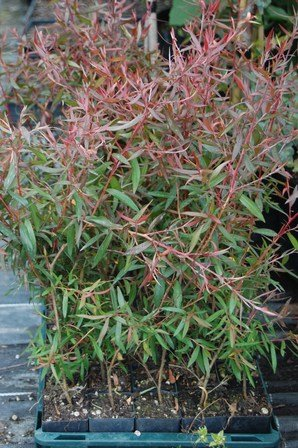 Leptospermum macrocarpum Copper Sheen - TUBE (20/30)