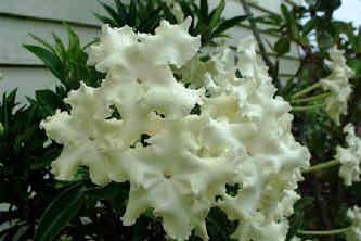 Brunfelsia undulata White Caps - 3L (30/40)