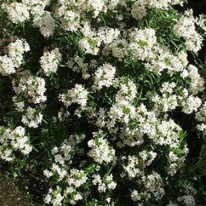 Choisya White Dazzler - PB6.5 (20/30)