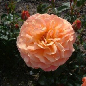 Bush Rose - Floribunda 'Beach Baby'
