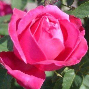 Bush Rose - Hybrid Tea 'Best Friend'