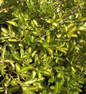 Coprosma 'Kiwi Gold' PB5(15/25)