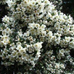 Eucryphia x nymansensis 'Nymansay' - PB18