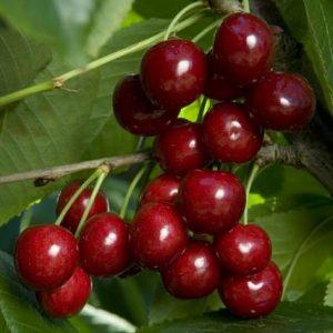 Cherry Bing - PB 12/18 (160/180)