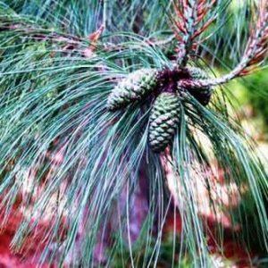 Pinus durangensis  PB6.5