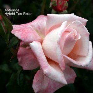 Bush Rose - Hybrid Tea 'Aotearoa'