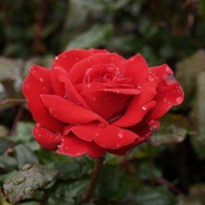 Bush Rose - Hybrid Tea 'Crimson Bouquet'