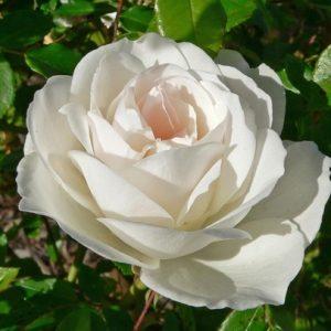 Bush Rose - Floribunda 'Iceberg'