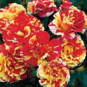 Bush Rose - Floribunda 'Oranges & Lemons'