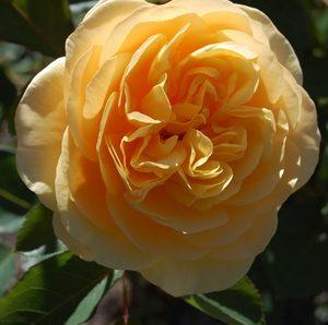 Austin English 'Graham Thomas' Bush Rose