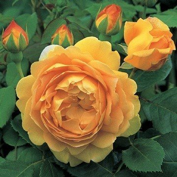 Austin English 'Golden Celebration' Bush Rose