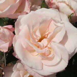 Climber / Rambler Rose - All My Love