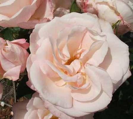Climber / Rambler Rose – All My Love