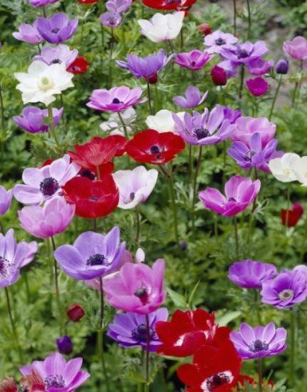 Anemone De Caen (Single Flowering) – Mixed