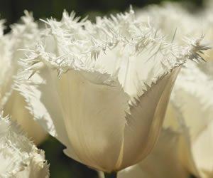 Tulips Darwin Hybrids - Honeymoon