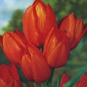 Tulips, Dwarf - Orange Toronto