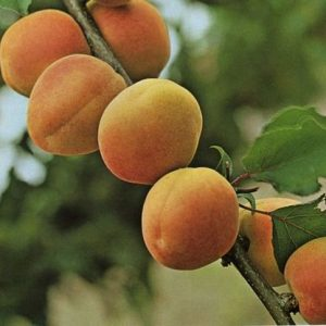 Apricot Royal Rosa  PB12/18