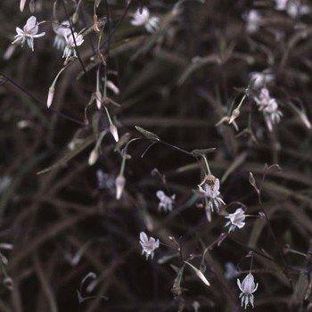 Arthropodium candidum Purpureum – PB6.5 (5/10)