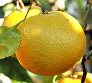 Grapefruit Golden Special - PB12