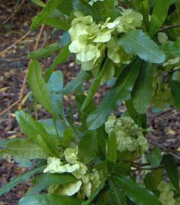 Dodonaea viscosa - PB5 (50/60)