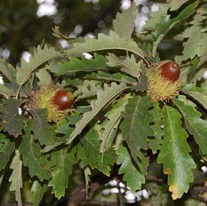 Quercus castaneifolia  - PB12 (160/180)