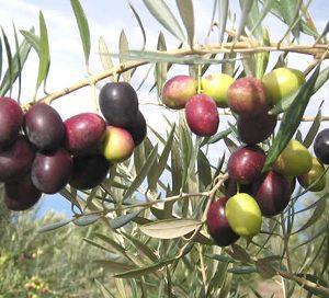 Olive Picual  - PB6.5 (60/80)