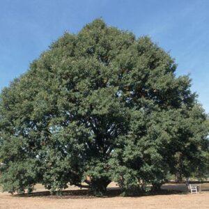 Quercus castaneifolia  - PB18 (220/240)