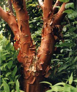 Acer griseum  - PB6.5 (60/80)