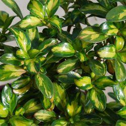 Coprosma Lemon 'n' Lime - 2.5L (15/20)