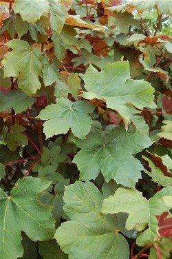 Acer pseudoplatanus purpurea  - PB8 (180/220)