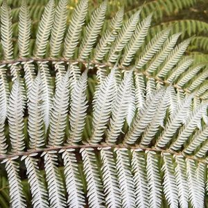 Fern - Cyathea Dealbata - PB18 (40/60)