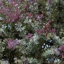 Acacia baileyana Purpurea - PB3/4 (40)