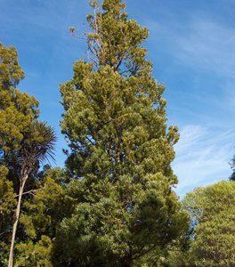 Agathis australis - PB60 (160/200)
