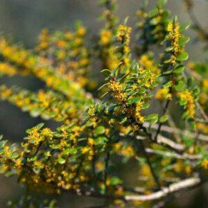 Azara microphylla - PB18 (110/130)