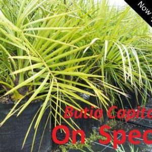 Butia capitata - PB40 (100/120) Jelly Palm