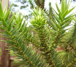 Araucaria angustifolia - PB6.5