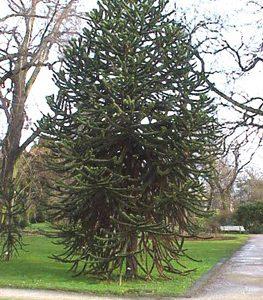 Araucaria araucana - PB6.5