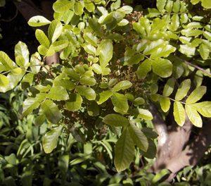 Caldcluvia (Ackama) Rosifolia - PB6.5