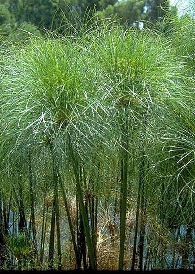 Cyperus Papyrus – PB18 (80/100)