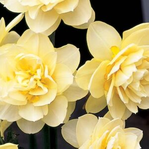 Daffodils Double - Manley