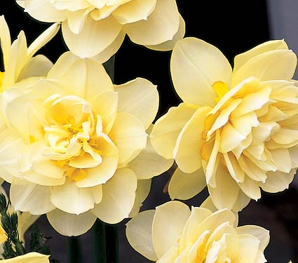 Daffodils Double – Manley