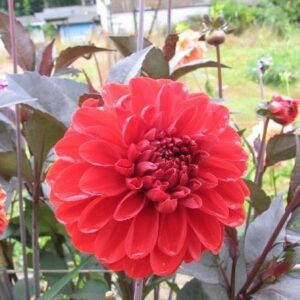 Dahlias, Decorative - Fire Mountain