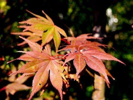Acer palmatum Okagami (Japanese Maple) PB60 (200/240)