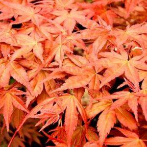 Acer palmatum 'Shindeshojo' (Japanese Maple) - PB60(180/220)