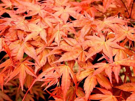 Acer palmatum 'Shindeshojo' (Japanese Maple) – PB60(180/220)