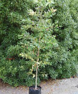 Agathis robusta - PB95 (250/280)