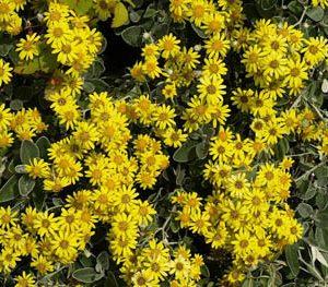 Brachyglottis greyi Sunshine - PB5 (20/30)