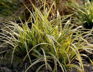 Carex morrowii Gold Band - PB6.5 (10/15)