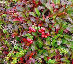Cranberry Vaccinium macrocarpon - PB6.5 (10/15)
